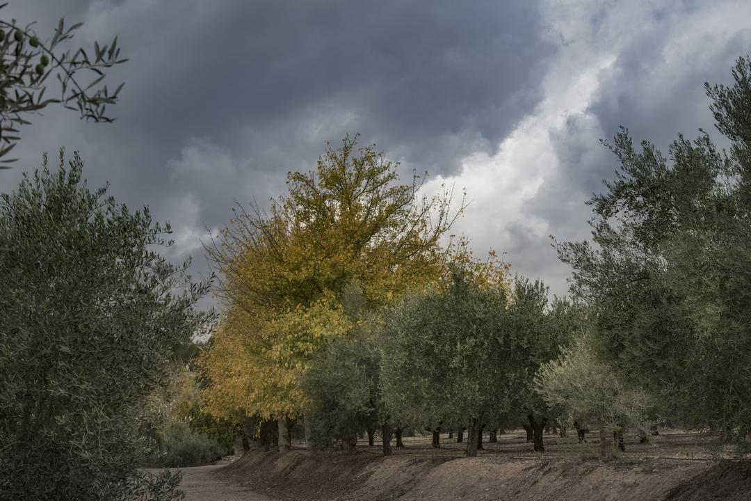 Olivos, árboles en la finca rustica Masía El Altet (Alcoy)