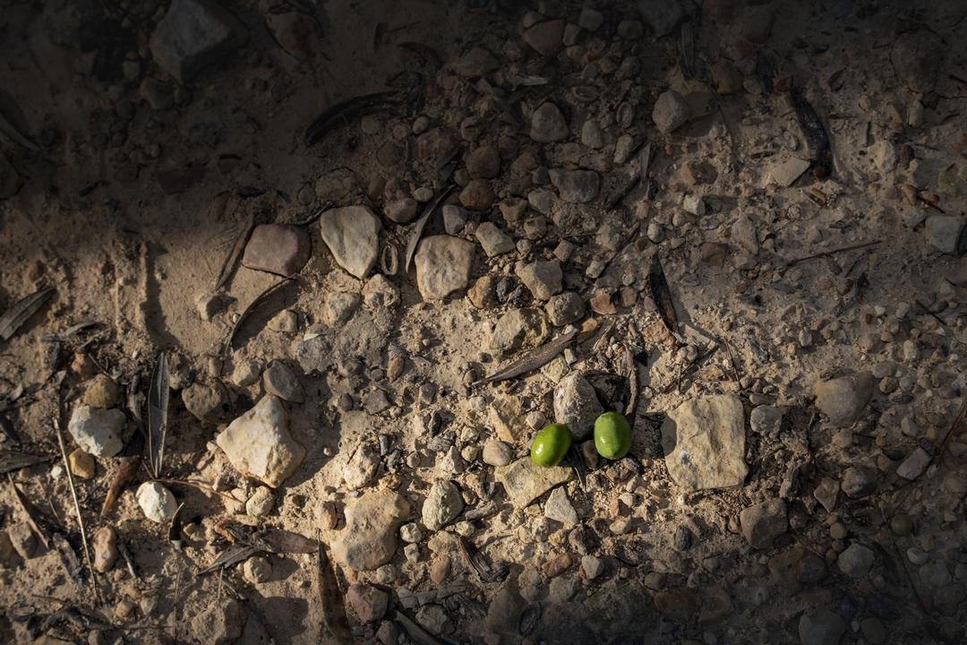 Olivas verdes en el terruño de la finca rustica Masía El Altet.