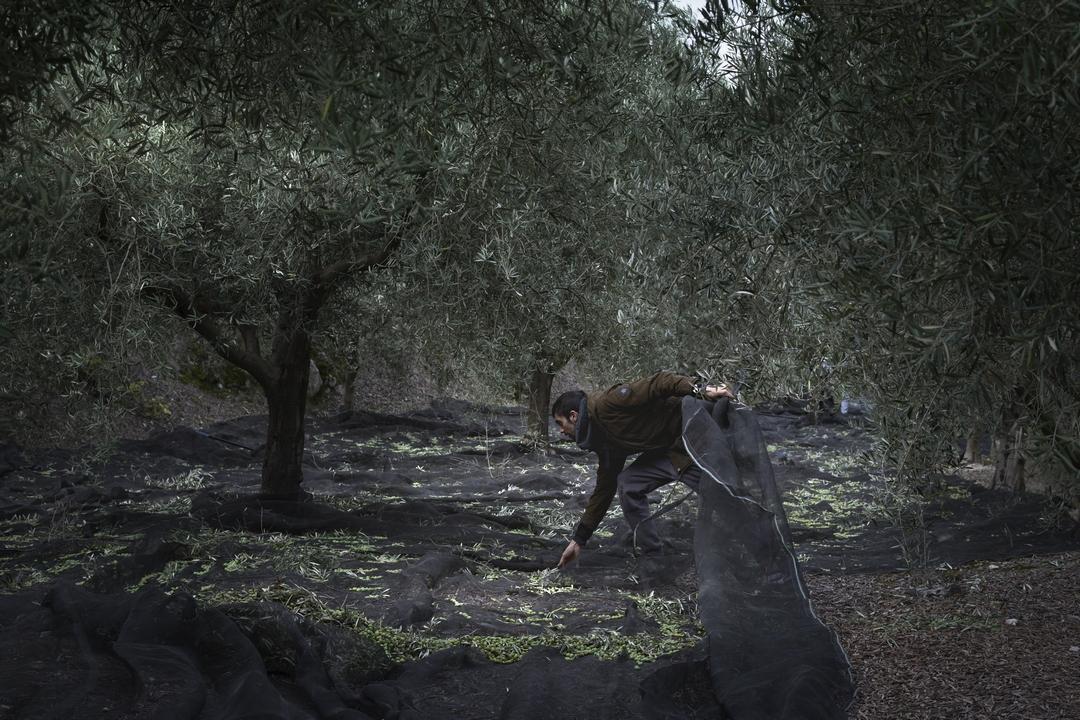 Recolección de la oliva en las redes, tras el vareo.