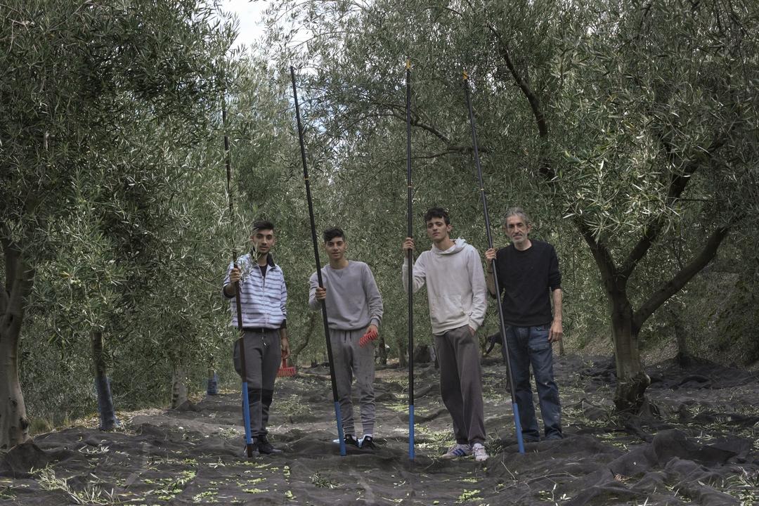 Cuadrilla de vareadores entre olivos